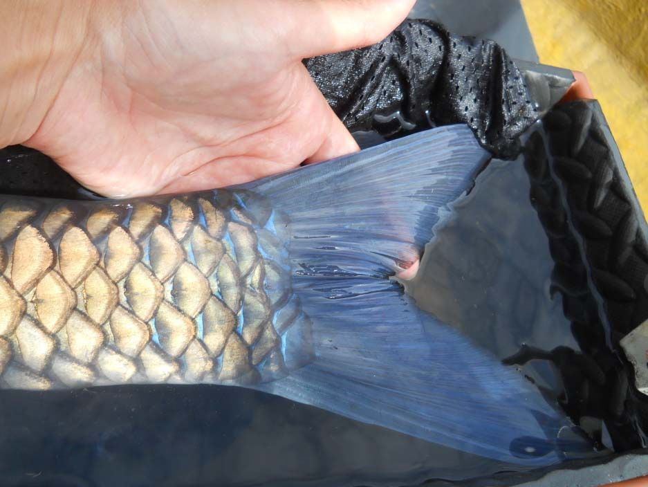 The blue-finned mahseer